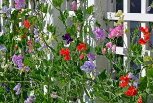 colorful climbing sweet pea plants