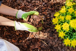 gloved hands applying mulch to a flowering plant