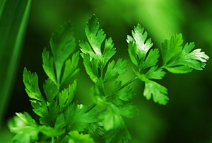 A close-up picture of a sprig of fresh parsley.