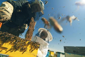 A couple of beekeepers working around a hive with bees flying into the blue sky.