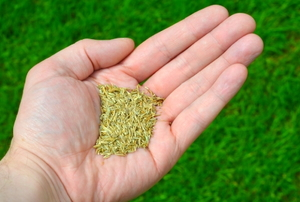 Close up of a man's hand holding grass seed in front of a thriving lawn.