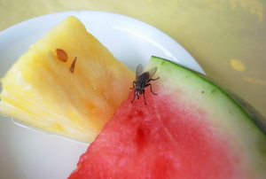 A fly resting on a slice of watermelon.