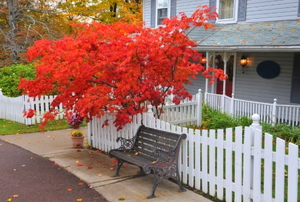 Japanese maple tree in front of a  B&B in Pennsylvania