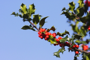 A branch of holly, with sharp leaves and red berries, extends away from the body of the tree.