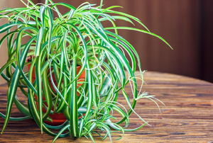 A spider plant on a table.