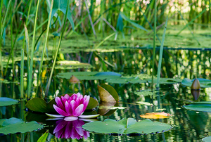 Pond with lotus flower