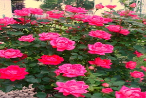A blooming bush of pink double knockout roses.