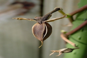 Moonflower, (Ipomoea alba) ripe seedpod just starting to open.