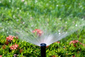 sprinkler watering a lawn and a flowering bush
