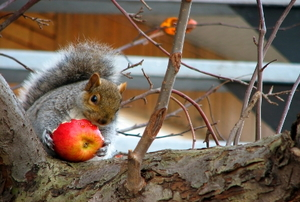 Furry squirrel on a tree eating a big red apple.