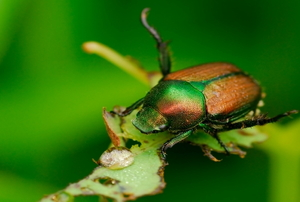 Using Neem Oil to Kill Japanese Beetles