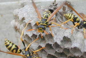 three wasps on the outside of a nest