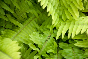 Golden Boston Fern