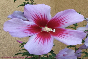 Close on a purple and red Rose of Sharon blossom.
