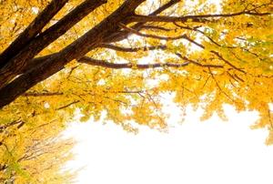 Autumnal yellow ginkgo tree.