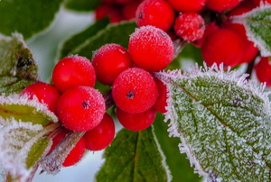 red berries on a holly bush covered with frost