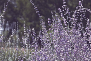 Russian sage in a field.