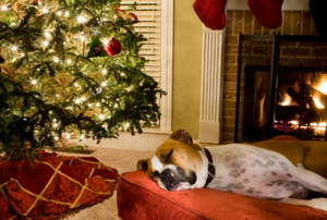 Sleeping dog next to Christmas tree