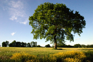 Beech tree in a field