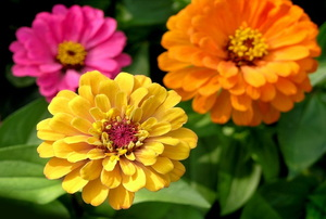Multicolored zinnia flowers in bloom.
