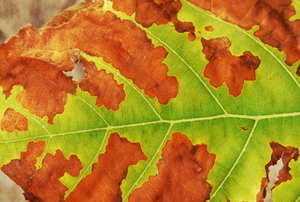Brown spots on a tree leaf