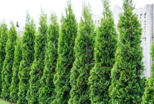 a line of arborvitae bushes