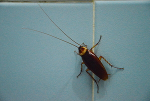 Cockroach climbing up a blue wall