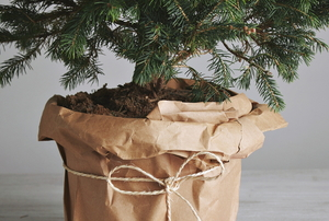 living christmas tree in wrapped pot planter