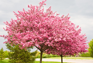 Two redbud tress side by side