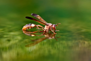 A red wasp lands on the surface of the water for a drink.