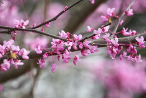 blossoming redbud tree