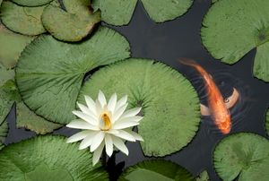 A goldfish swimming on the surface of a pond covered with lily pads.