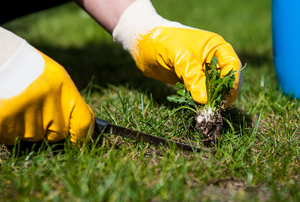 gloved hands pulling a weed from grass.