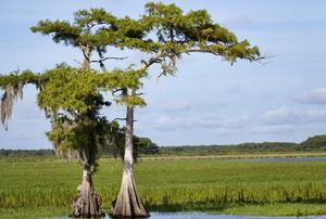 A cypress tree.