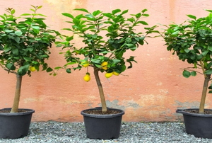 Beech trees in pots.