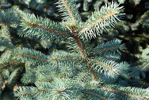 A close up on a spruce tree.