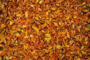 A close-up of autumn leaves.