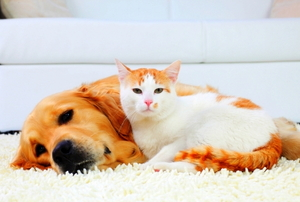 Dog and cat- resting together on a white carpet.