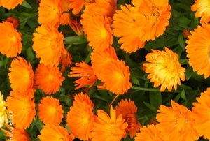 Marigolds in the ground.