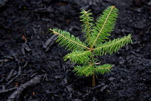 A pine seedling takes root.