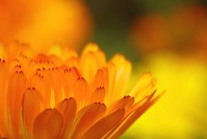 Closeup on the petals of a marigold.