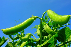 A plantation peas in a vegetable garden
