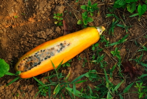 Moldy yellow squash in the garden.