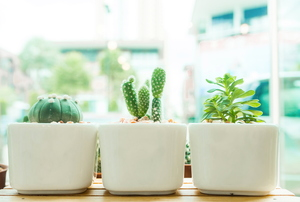 row of plants in white pots