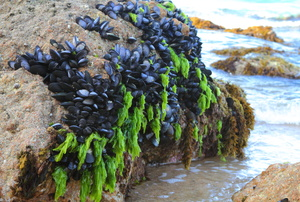 Mussels on a cliff.