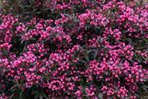 Pink weigela blooms