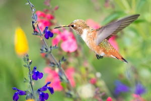 A brown hummingbird in a garden of colorful flowers.