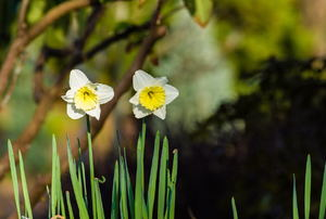 A couple of blooming daffodils.