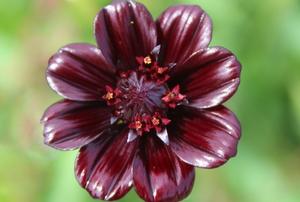 chocolate cosmo flower
