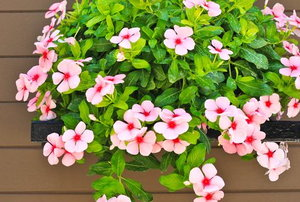 impatiens trailing out of a hanging basket